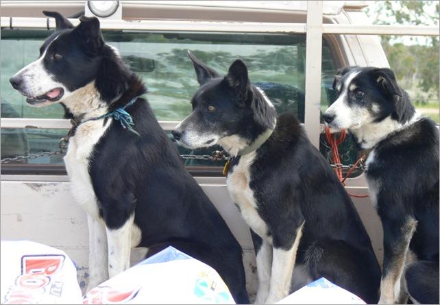3 dogs ute