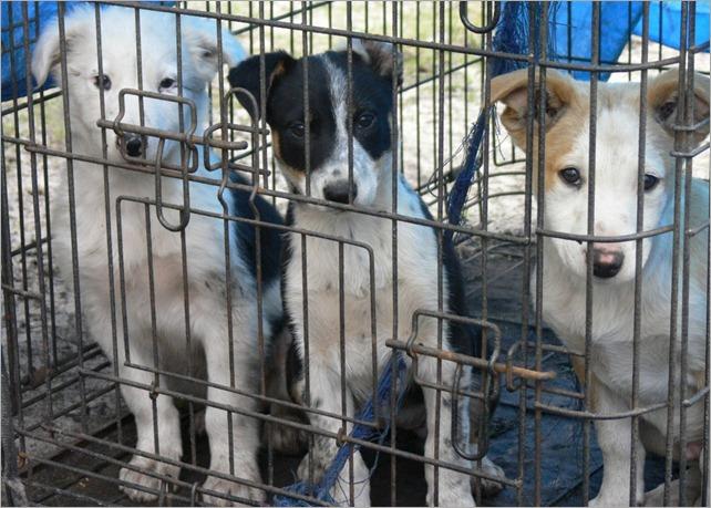 collie pups 2
