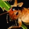 Glomeremus