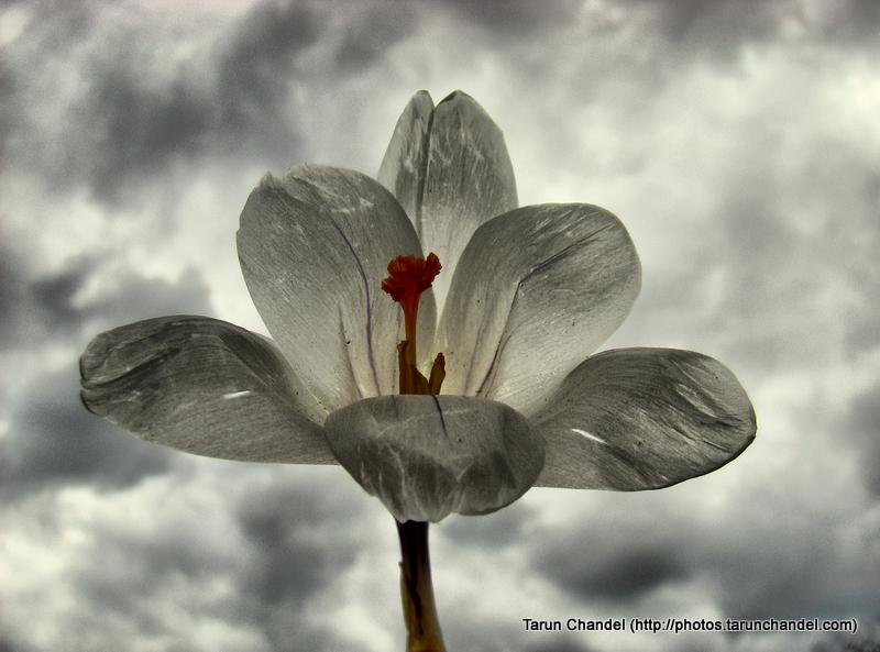 White Flower Germany, Tarun Chandel Photoblog
