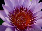 Lotus, Tarun Chandel Photoblog