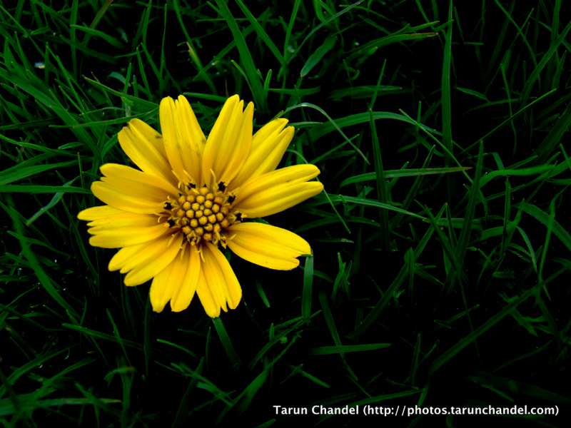 Yellow Flower Green, Tarun Chandel Photoblog