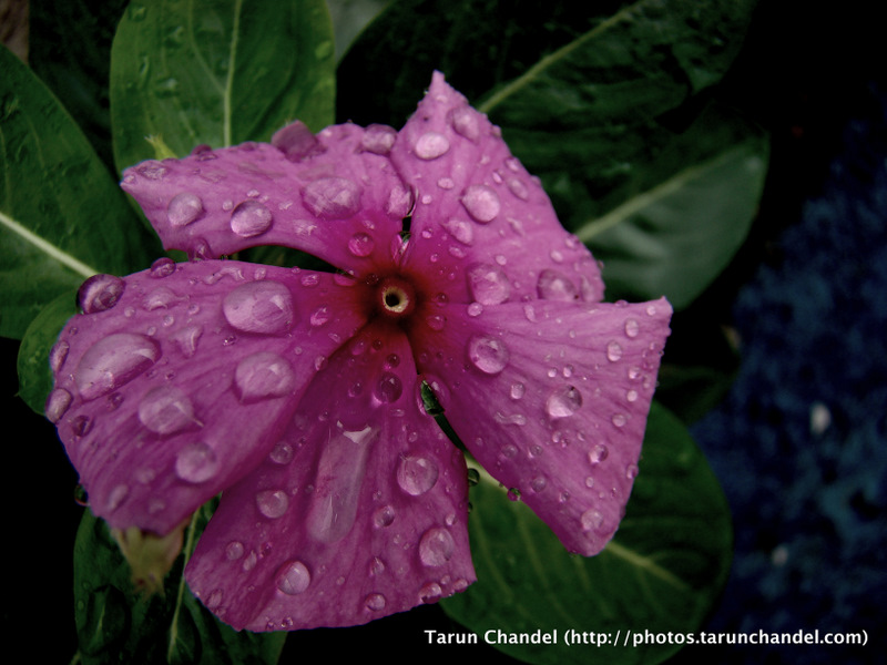 Pink Flower Rains, Tarun Chandel Photoblog