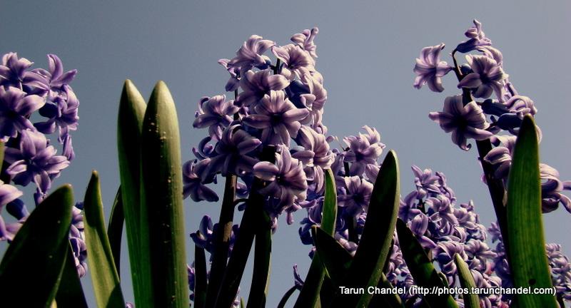 Purple Tulips Flowers Kuekenhof Netherlands, Tarun Chandel Photoblog