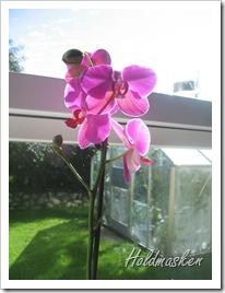 orkide 003