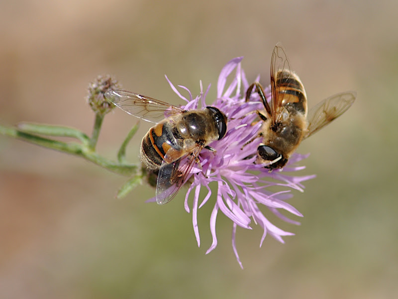 three hoverflies on wildflower