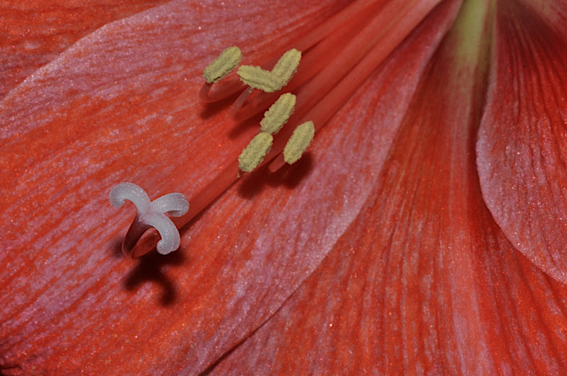 Amaryllis anthers and stigma