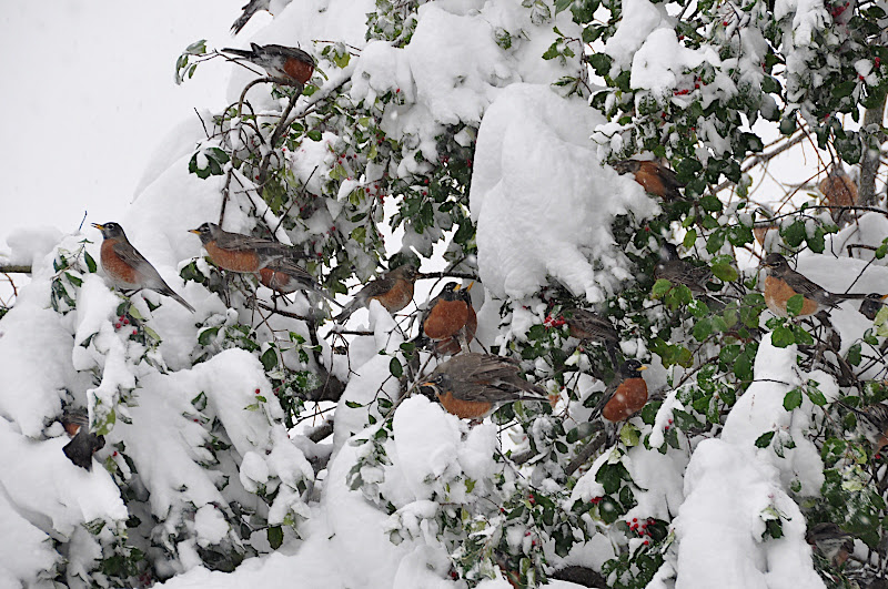 robins in snow dining on holly berries