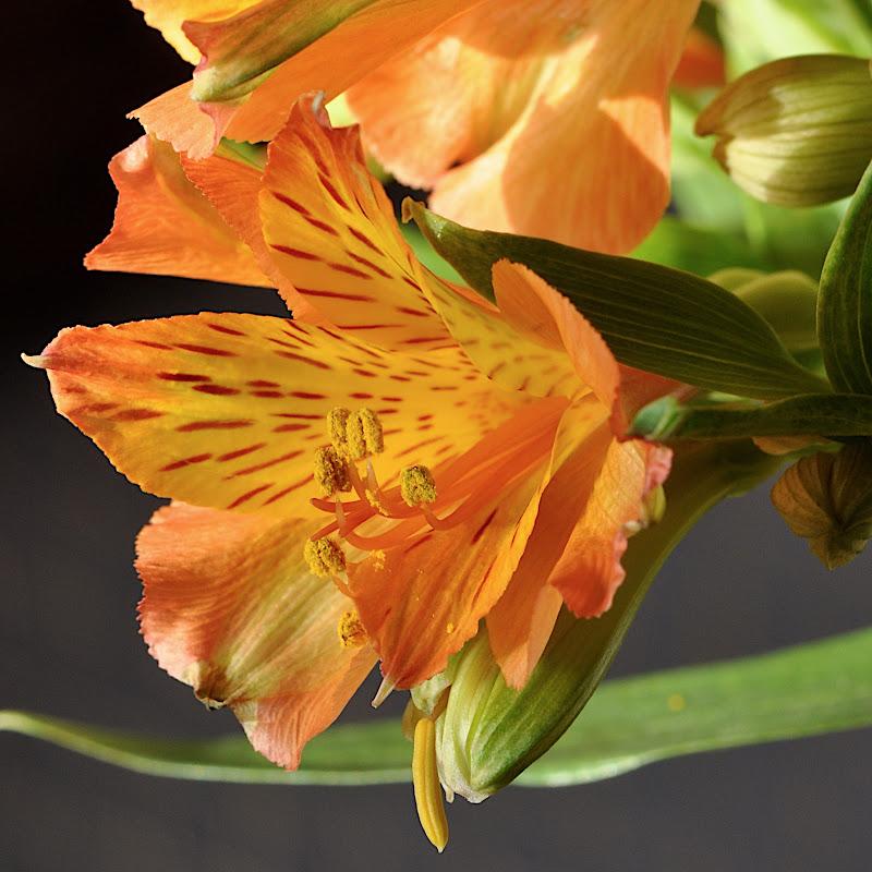 Alstroemeria blossom