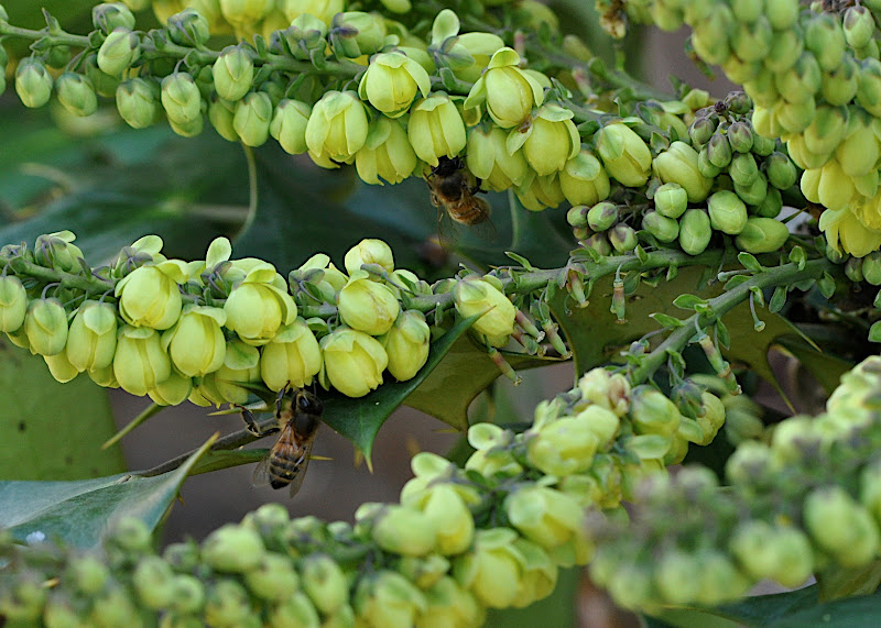 busy bees in Mahonia blossoms