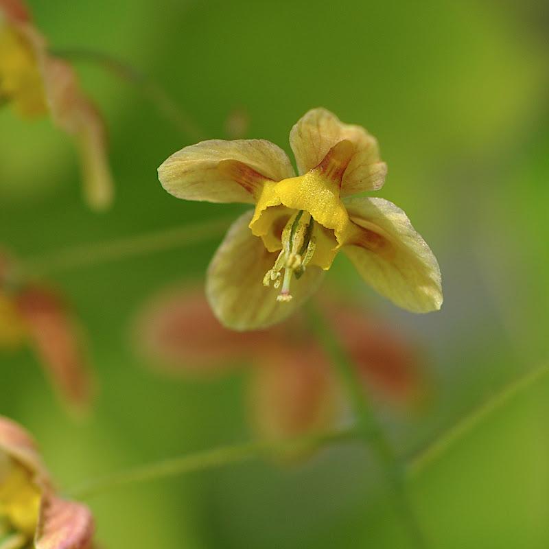 Longspur Epimedium blossom