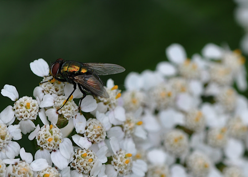 iny iridescent fly gathering pollen on Yarrow blossom