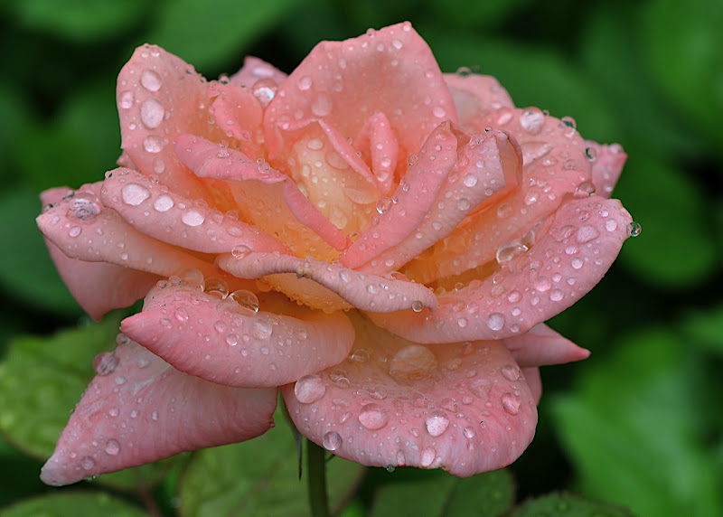 Lovely Orange Rose Blossom in Rain