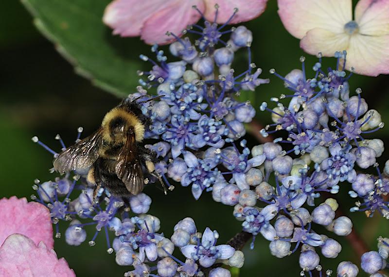 Bee... Lace-cap Hydrangea... Pollen Gathering