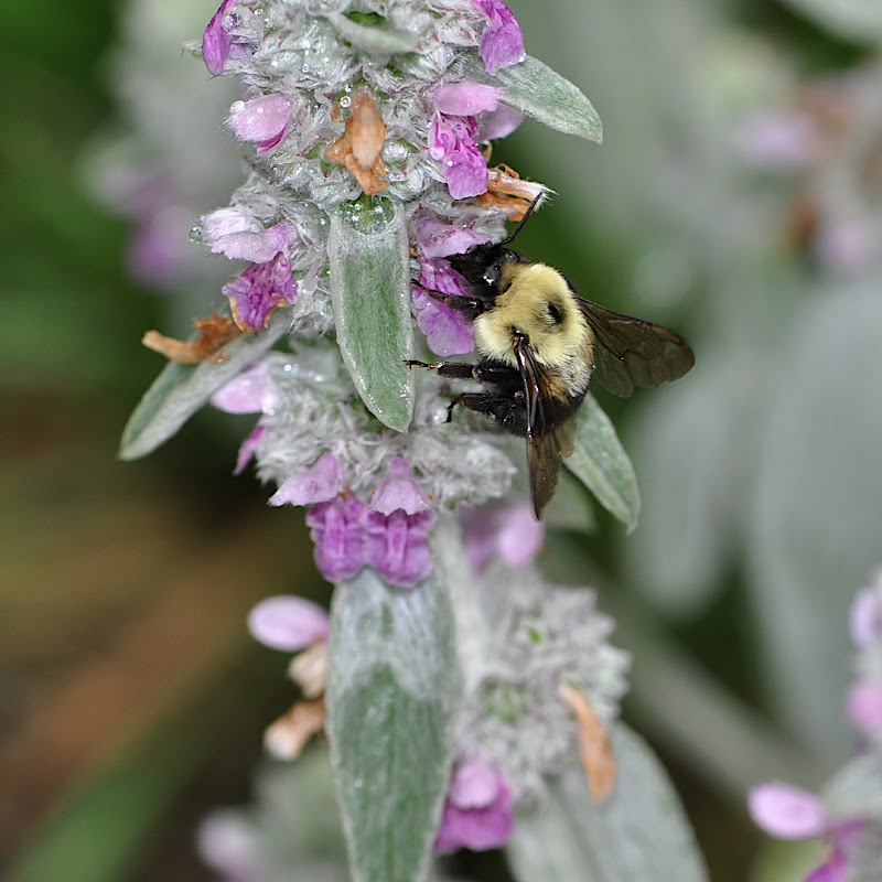 Bumble-Bee after the pollen in the Lambs-ear Blossoms