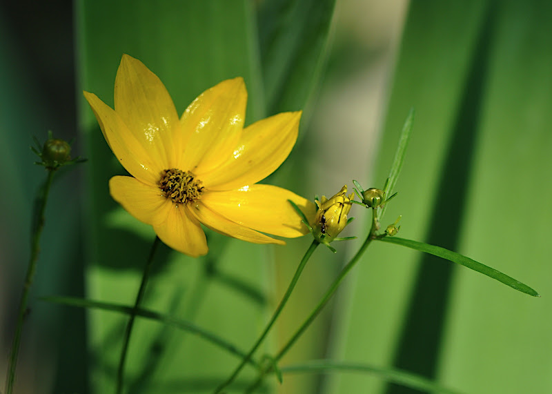 Coreopsis flower and buds with ant
