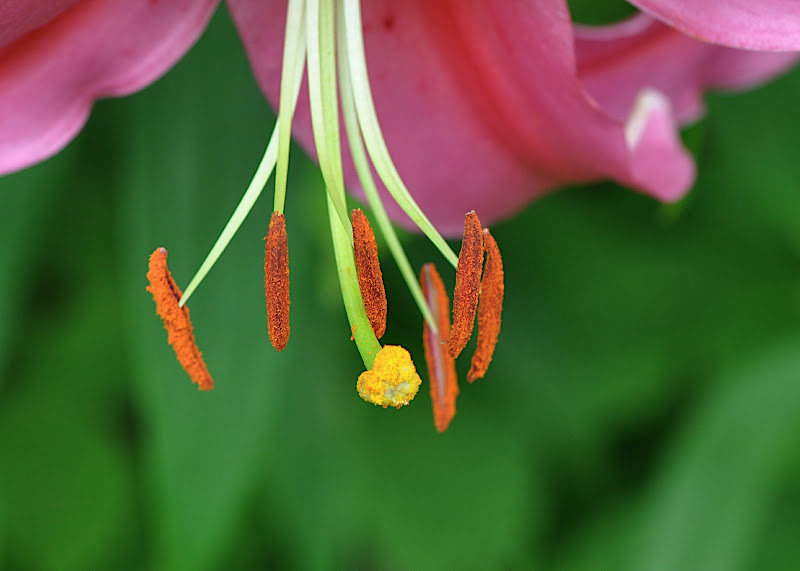 lily blossom with stamens and pistil