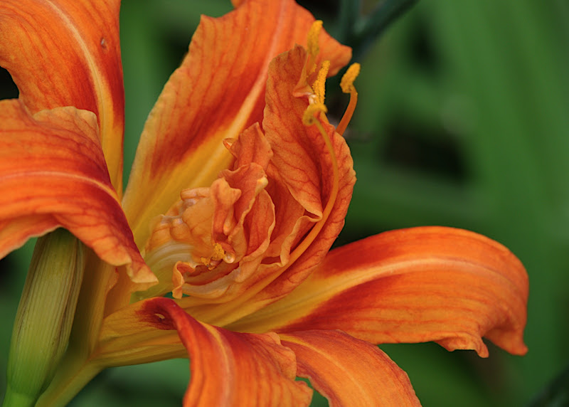 species day lily (orange, double)