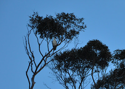 sea eagle in a tree