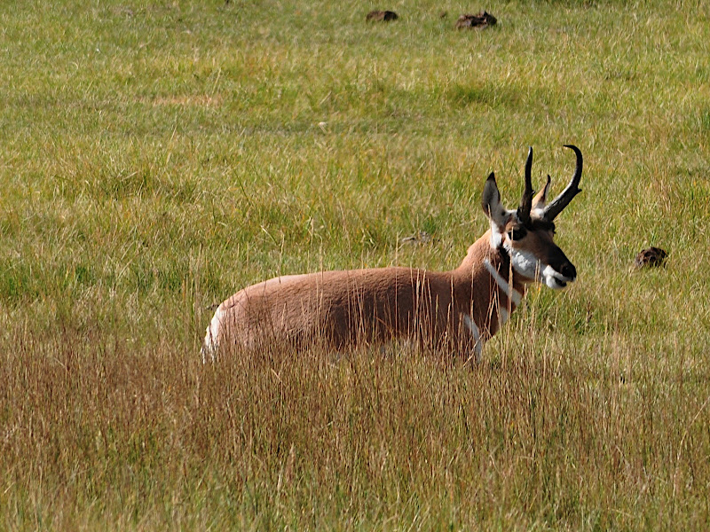 antelope male