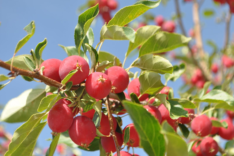 crab apples and blue sky