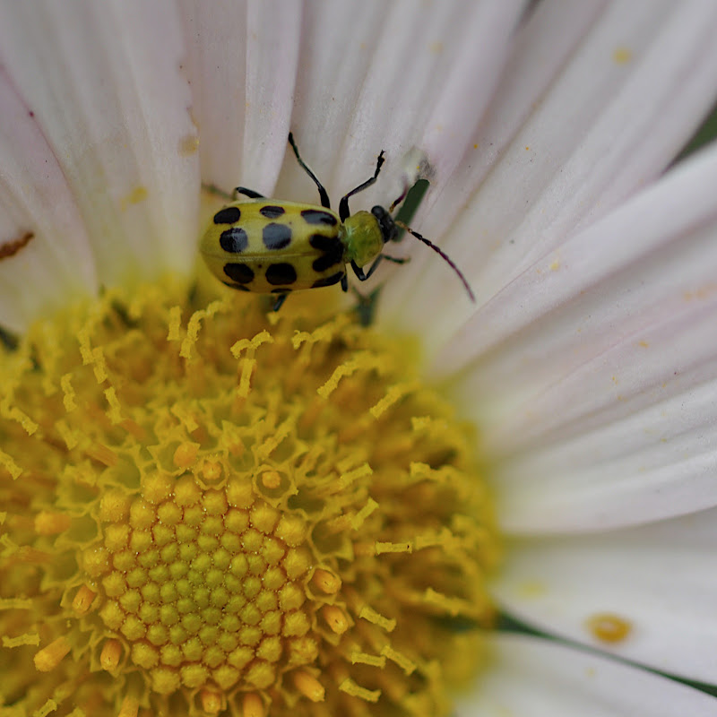 beetle dining on daisy mum