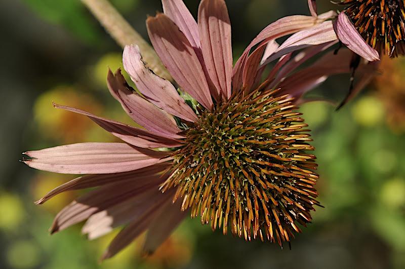 Coneflower blossom fading away