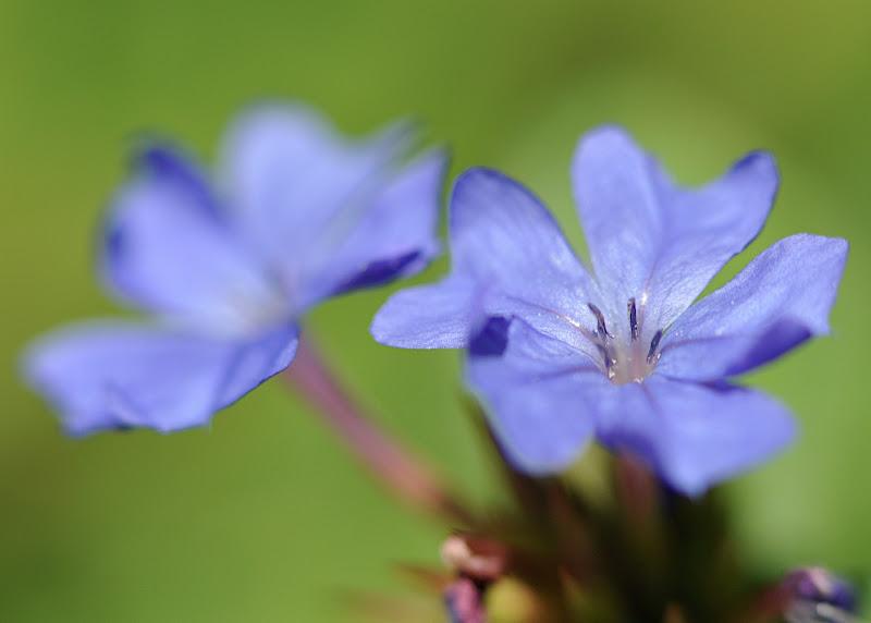 Plumbago larpentae blossoms