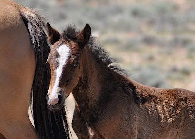 young wild mustang