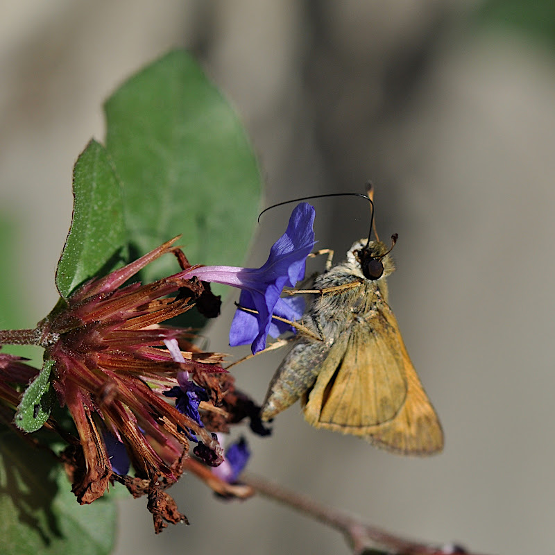skipper finished getting nectar from flower blossom