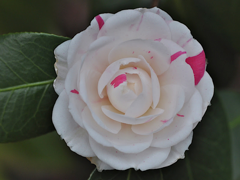 white camellia with a touch of pink