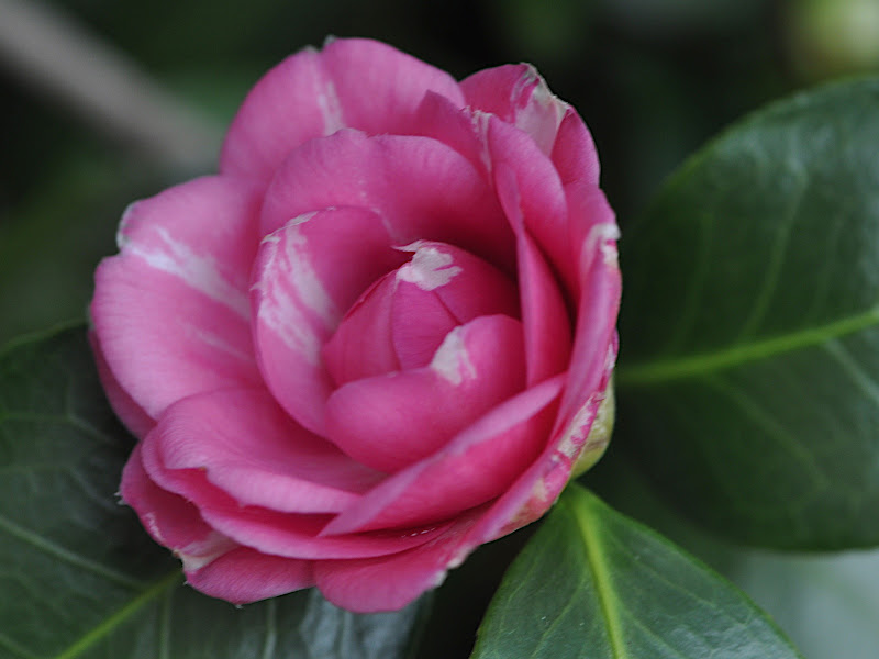 pink camellia with a touch of white