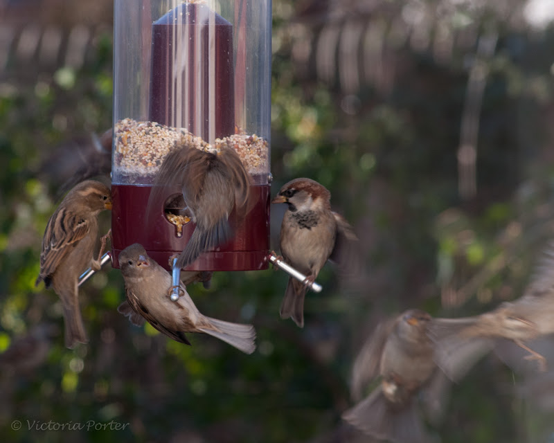English (house) Sparrow feeding frenzy