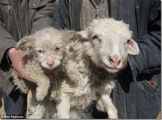 Ovelha dá à luz um cachorro - Pulou a cerca