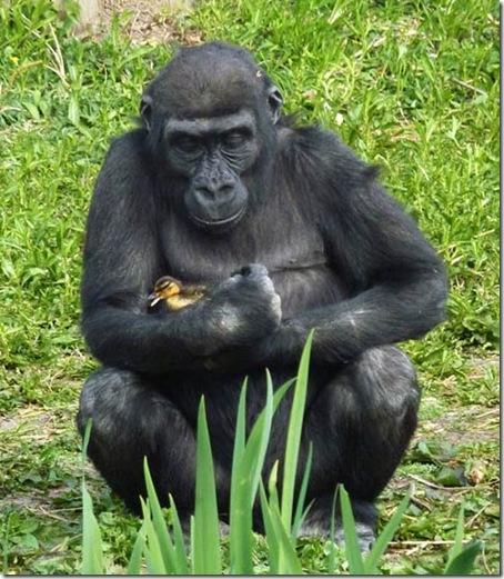 Gorila-é-flagrado-fazendo-carinho-em-patinho