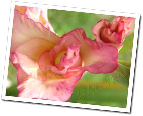 DSC05606-pink mystery copy