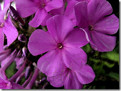 DSC05499-purple phlox watercolor copy