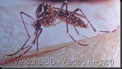 Aedes_Aegypti2