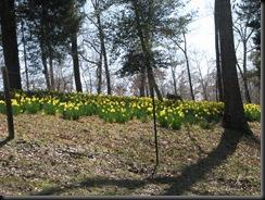 Daffodil gardens 008