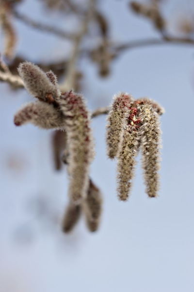cottonwood-catkins