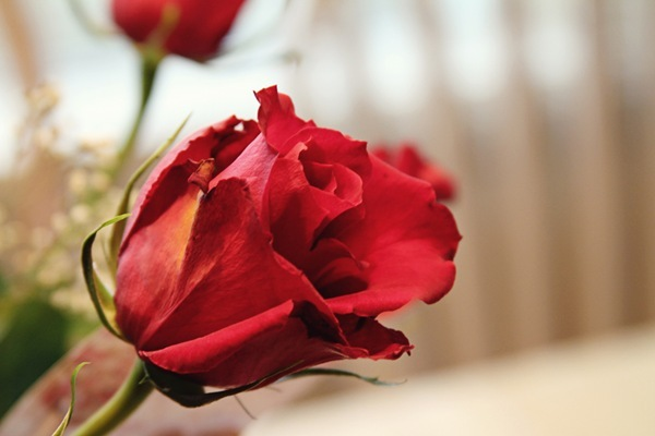 one valentine rose