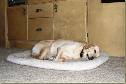 Reyna is exhausted and she is asleep on her dog bed.  What a day!