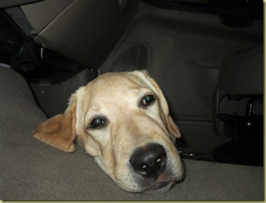 Vienna laying on the floor of the truck with her sleepy face.