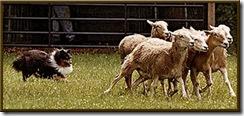 sheltie_herding_AKC