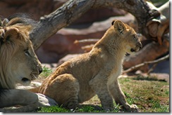 Large male lion with lion cub