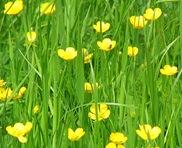 buttercups2