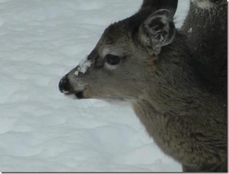 deer 053