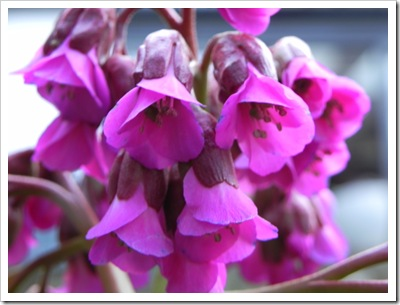 Shriek pink bergenia