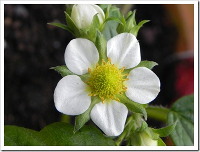 Stawberry flower