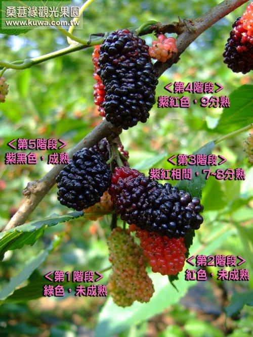 桑葚緣- 果實成熟階段